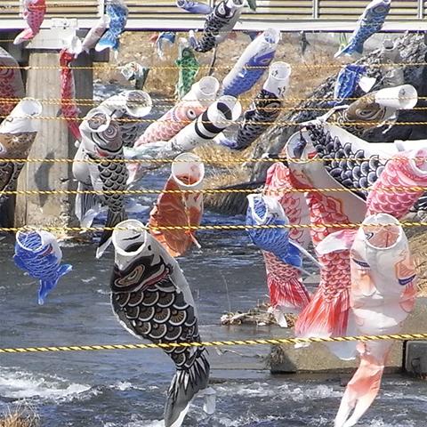 勝納川の鯉のぼり